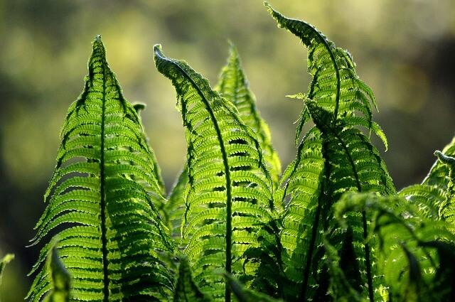 Farne als Zimmerpflanze